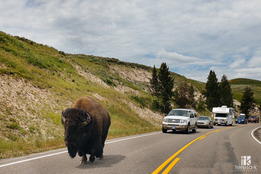 buffalo in the road at Yellowstone park